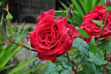 red roses after the rain
