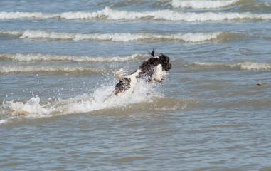 spaniel diving through surf