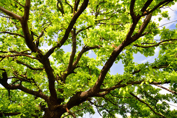 old oak branches