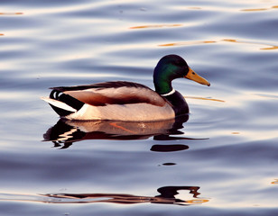 A wild duck swims
