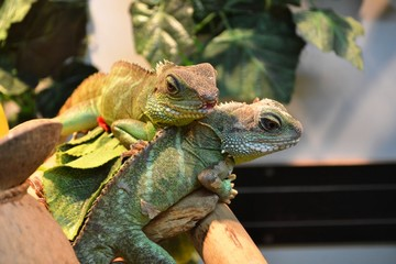 Two Agamas