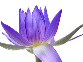 A shining lotus