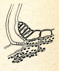 Sensitive cells of plant Biophytum sensitivum