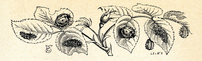 Ladybirds with caterpillars and nymphs