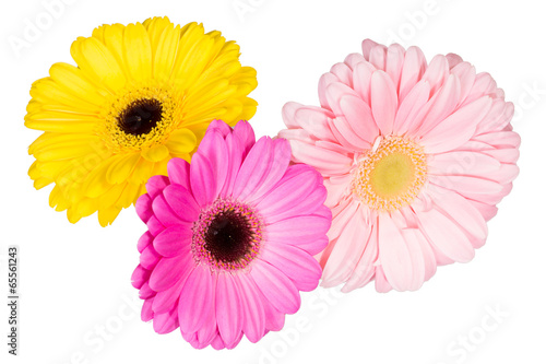 Three different gerbera flowers on the white background.