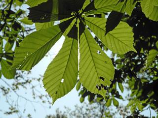 Blätter der Rosskastanie