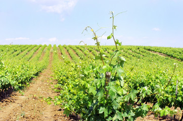 Vineyard in Portugal, Alentejo