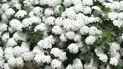 White flowers bed are trembling in the wind