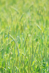Detail of the spring Field of green Barley
