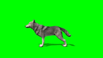 wolf howls - green screen