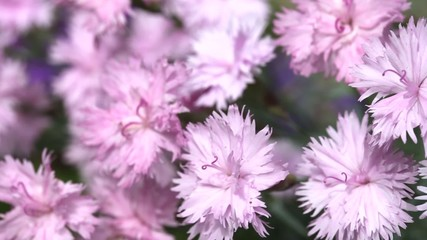 Pink flowers bed are trembling in the wind