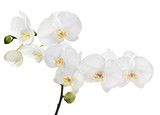 large white isolated orchid floral branch