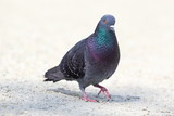 feral pigeon walking on park alley poster