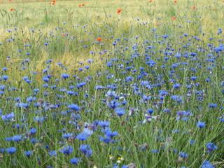 Kornblumen und Mohn im Getreidefeld