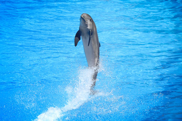 dolphin in action