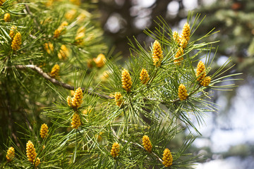 branch with yellow pine cones
