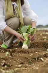 畑からカブを収穫する女性の手元