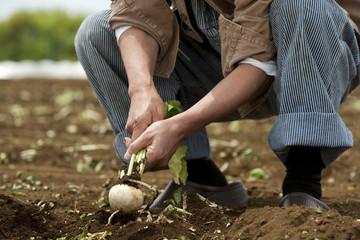 畑からカブを収穫する男性の手元