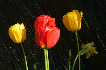 Red and yellow tulips in the rain