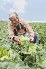 キャベツを収穫する祖父と孫