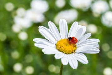 Ladybug on camomile flower close-up.
