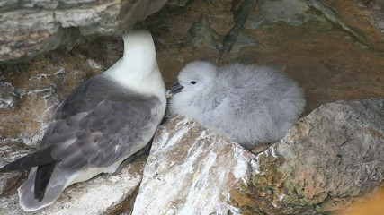 Nesting Northern Fulmar, Fulmarus glacialis