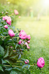 beautiful blooming peonies in the garden
