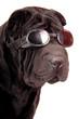 canvas print picture - Sharpei schwarz mit Sonnenbrille Portrait