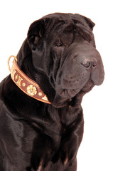 Sharpei schwarz mit Halsband Portrait