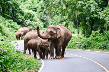 family of Asian elephant
