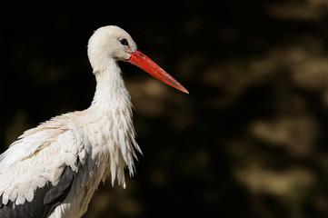 Cigogne Blanche, oiseau