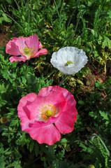 Opium flower , poppy