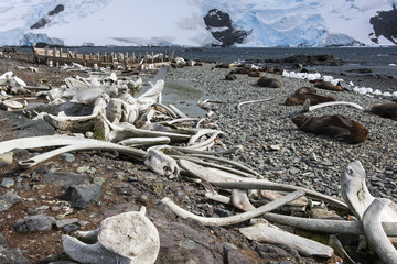 Whales bones strewn on the beach, and fur seals on the shore.
