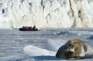 A large bearded seal on the ice, and a zodiac inflatable boat full of passengers on the water.