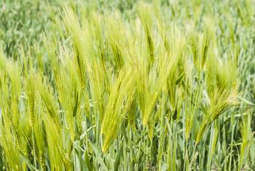 green is not yet ripe ear of wheat
