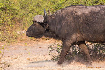 African buffalos side view