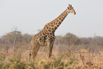 Giraffe side view