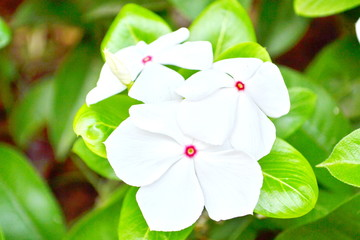 Phangphuai flowers-white   Vinca flower
