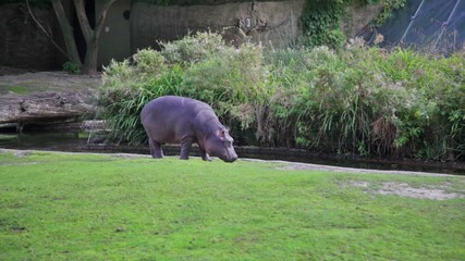Hippopotamus goes on the river bank and something eats