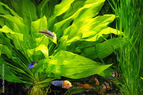Planted aquarium with fish - 65604243