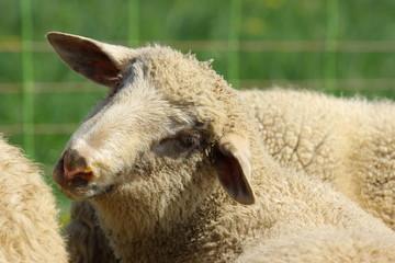 Schaf mit schrägem Kopf