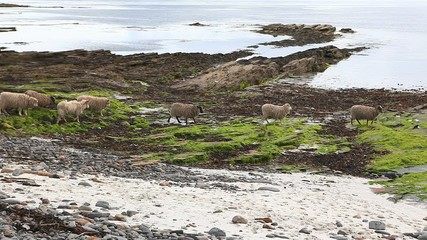View of Sheep from North Ronaldsay, Orkney, Scotland