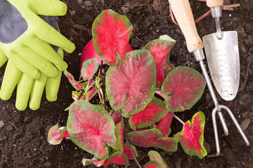 Planting lasting Love Caladium in the garden
