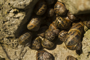 Garden snails, helix aspersa, group nestling in a rock, macro
