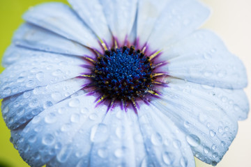 top view of cape rain daisy flower with water drops on petals
