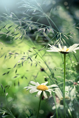 Camomile on meadow, with abstract blurred background