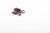 Tick - parasitic arachnid blood-sucking carrier of various disea