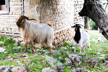Home goat,  ibex