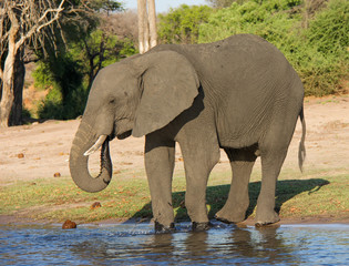 Elephant drinking in Chobe National Park, Botswana