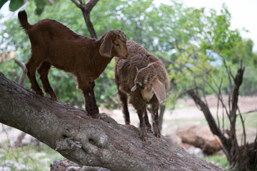 ome goat,  ibex